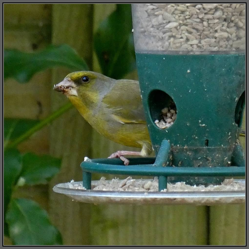 A greenfinch looking nervous on a feeder