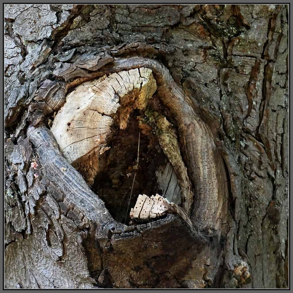 A close-up photo of a rotten part of a tree.